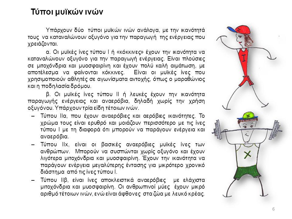 Τύποι μυϊκών ινών Υπάρχουν δύο τύποι μυϊκών ινών ανάλογα, με την ικανότητά τους να καταναλώνουν οξυγόνο για την παραγωγή της ενέργειας που χρειάζονται