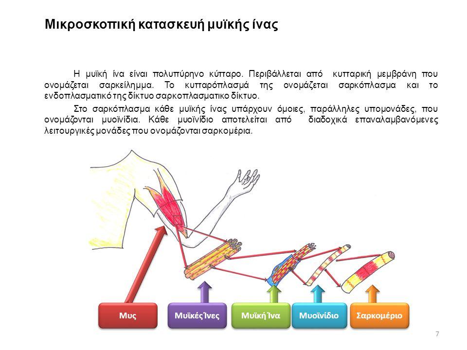 Μικροσκοπική κατασκευή μυϊκής ίνας Η μυϊκή ίνα είναι πολυπύρηνο κύτταρο. Περιβάλλεται από κυτταρική μεμβράνη που ονομάζεται σαρκείλημμα. Το κυτταρόπλα