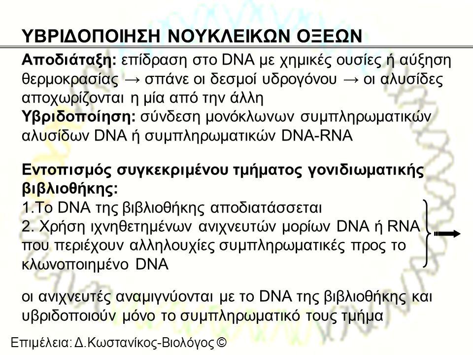 Επιμέλεια: Δ.Κωστανίκος-Βιολόγος © ΥΒΡΙΔΟΠΟΙΗΣΗ ΝΟΥΚΛΕΙΚΩΝ ΟΞΕΩΝ Αποδιάταξη: επίδραση στο DNA με χημικές ουσίες ή αύξηση θερμοκρασίας → σπάνε οι δεσμο