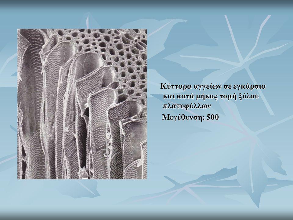 Κύτταρα αγγείων σε εγκάρσια και κατά μήκος τομή ξύλου πλατυφύλλων Κύτταρα αγγείων σε εγκάρσια και κατά μήκος τομή ξύλου πλατυφύλλων Μεγέθυνση: 500 Μεγ
