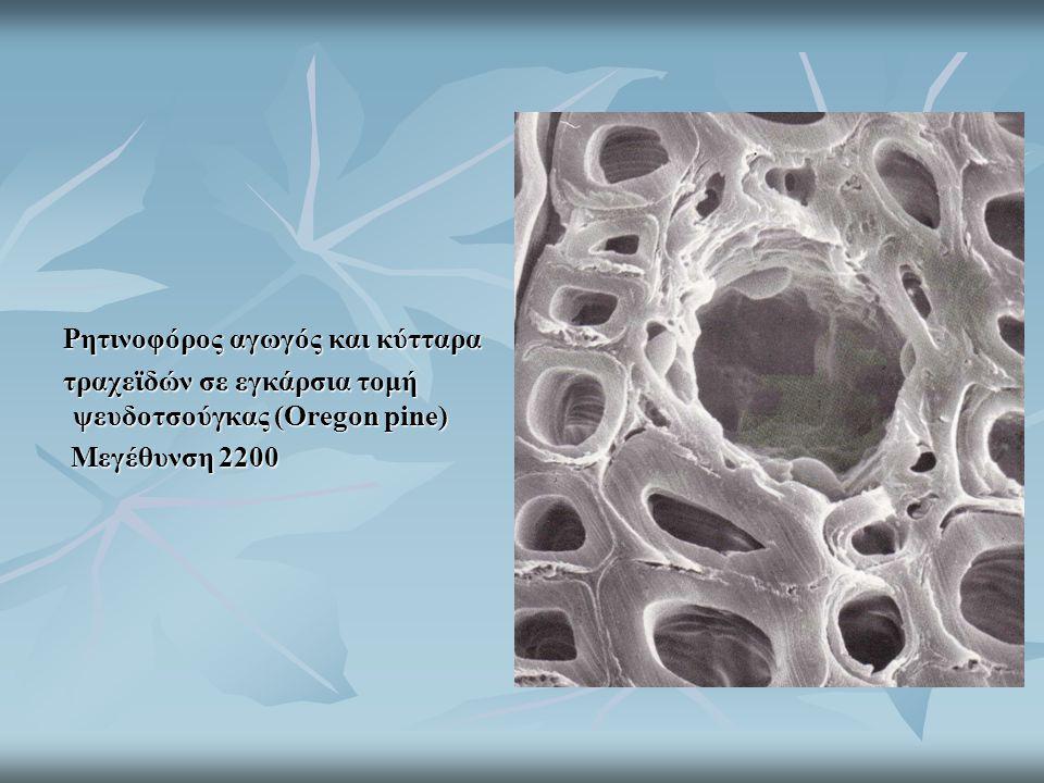 Ρητινοφόρος αγωγός και κύτταρα τραχεϊδών σε εγκάρσια τομή ψευδοτσούγκας (Oregon pine) Μεγέθυνση 2200 Μεγέθυνση 2200