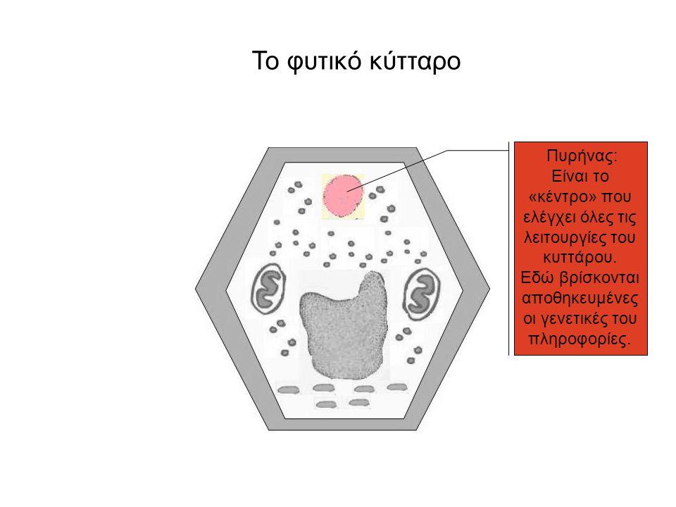 Το φυτικό κύτταρο Πυρήνας: Είναι το «κέντρο» που ελέγχει όλες τις λειτουργίες του κυττάρου. Εδώ βρίσκονται αποθηκευμένες οι γενετικές του πληροφορίες.