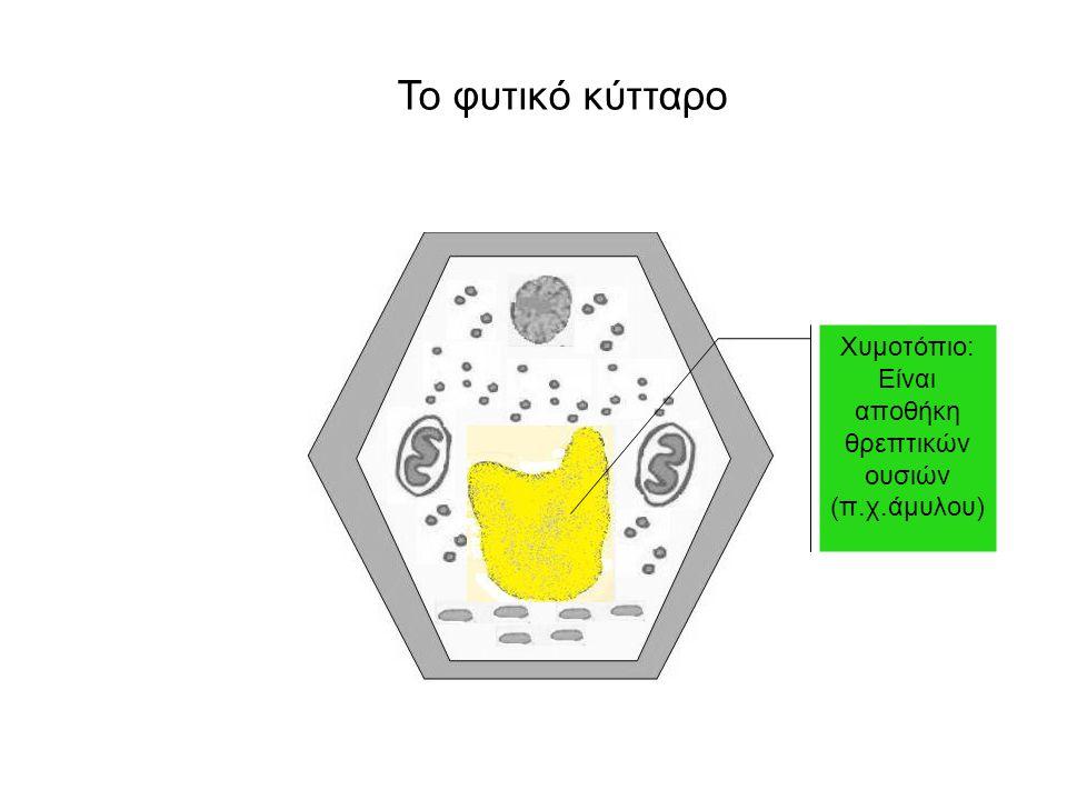 Το φυτικό κύτταρο Χυμοτόπιο: Είναι αποθήκη θρεπτικών ουσιών (π.χ.άμυλου)