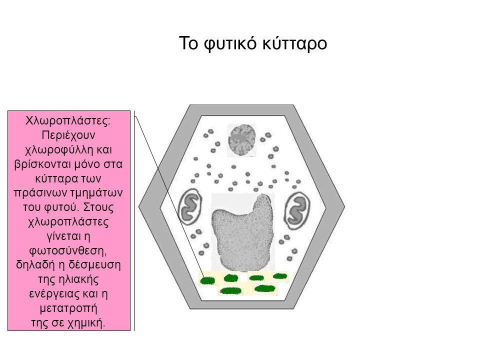 Το φυτικό κύτταρο Χλωροπλάστες: Περιέχουν χλωροφύλλη και βρίσκονται μόνο στα κύτταρα των πράσινων τμημάτων του φυτού. Στους χλωροπλάστες γίνεται η φωτ