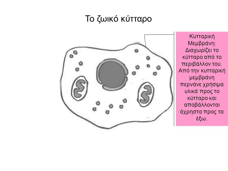 Κυτταρική Μεμβράνη: Διαχωρίζει το κύτταρο από το περιβάλλον του. Από την κυτταρική μεμβράνη περνάνε χρήσιμα υλικά προς το κύτταρο και αποβάλλονται άχρ