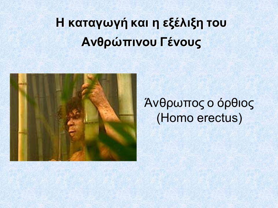 Η καταγωγή και η εξέλιξη του Ανθρώπινου Γένους Άνθρωπος ο όρθιος (Homo erectus)