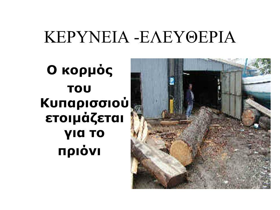 ΚΕΡΥΝΕΙΑ -ΕΛΕΥΘΕΡΙΑ Ο κορμός του Κυπαρισσιού ετοιμάζεται για το πριόνι