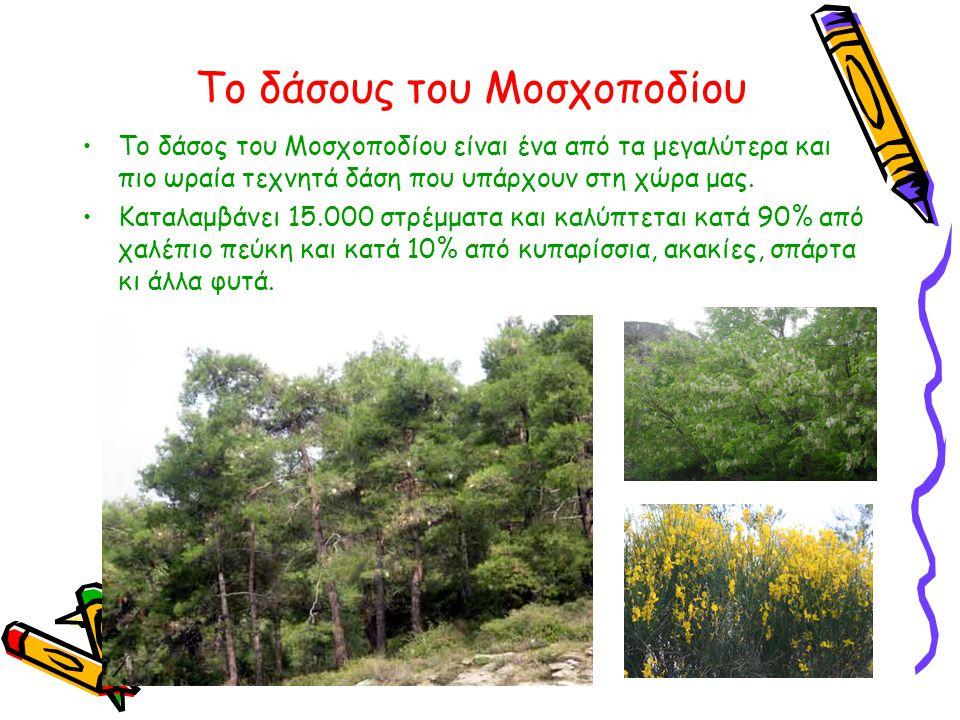 Το δάσους του Μοσχοποδίου •Το δάσος του Μοσχοποδίου είναι ένα από τα μεγαλύτερα και πιο ωραία τεχνητά δάση που υπάρχουν στη χώρα μας. •Καταλαμβάνει 15