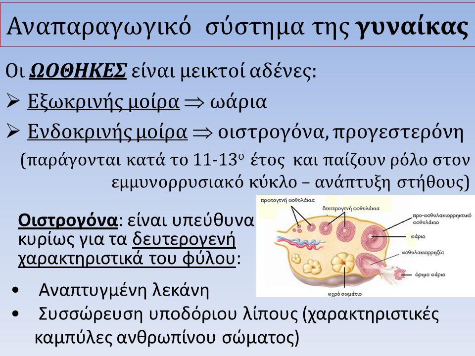 Οιστρογόνα: είναι υπεύθυνα κυρίως για τα δευτερογενή χαρακτηριστικά του φύλου: Αναπαραγωγικό σύστημα της γυναίκας Οι ΩΟΘΗΚΕΣ είναι μεικτοί αδένες:  Εξωκρινής μοίρα  ωάρια  Ενδοκρινής μοίρα  οιστρογόνα, προγεστερόνη (παράγονται κατά το 11-13 ο έτος και παίζουν ρόλο στον εμμυνορρυσιακό κύκλο – ανάπτυξη στήθους) • Αναπτυγμένη λεκάνη • Συσσώρευση υποδόριου λίπους (χαρακτηριστικές καμπύλες ανθρωπίνου σώματος)