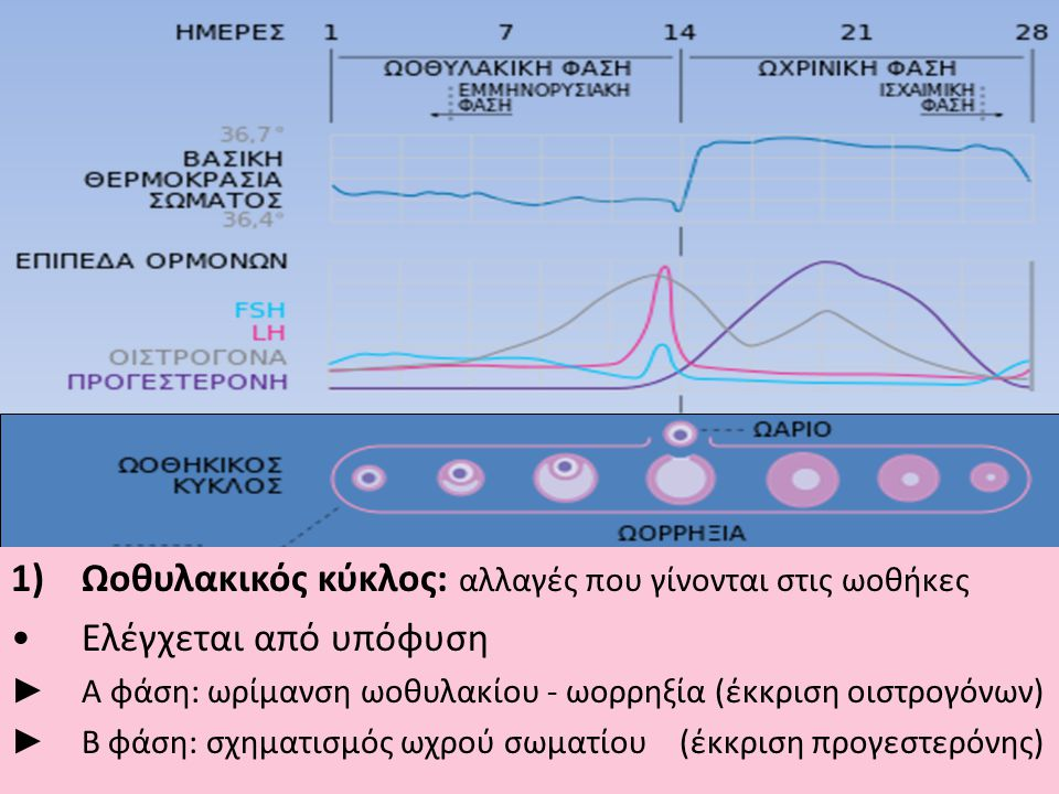 1)Ωοθυλακικός κύκλος: αλλαγές που γίνονται στις ωοθήκες •Ελέγχεται από υπόφυση ► Α φάση: ωρίμανση ωοθυλακίου - ωορρηξία (έκκριση οιστρογόνων) ► Β φάση: σχηματισμός ωχρού σωματίου (έκκριση προγεστερόνης)