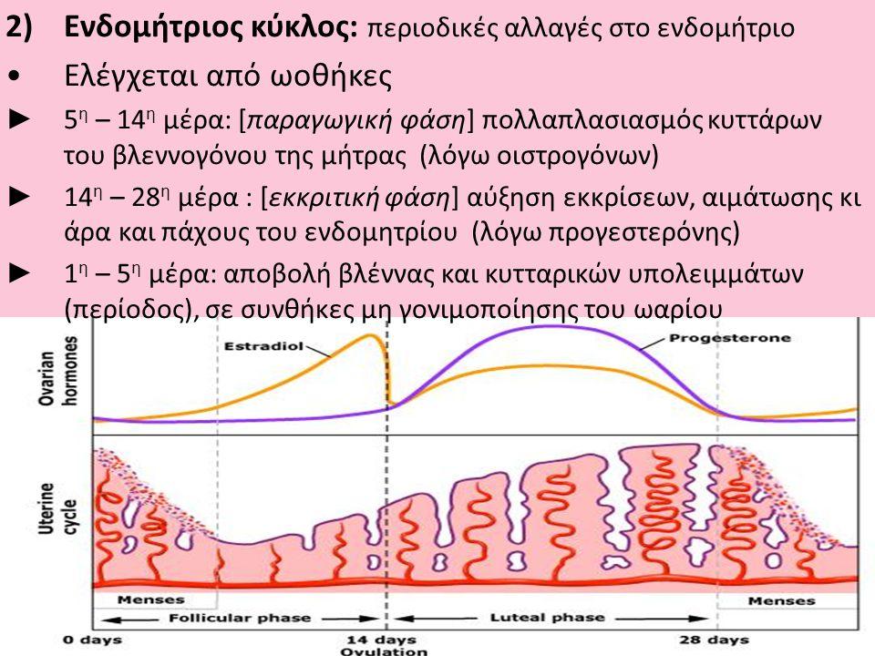 2)Ενδομήτριος κύκλος: περιοδικές αλλαγές στο ενδομήτριο •Ελέγχεται από ωοθήκες ► 5 η – 14 η μέρα: [παραγωγική φάση] πολλαπλασιασμός κυττάρων του βλεννογόνου της μήτρας (λόγω οιστρογόνων) ► 14 η – 28 η μέρα : [εκκριτική φάση] αύξηση εκκρίσεων, αιμάτωσης κι άρα και πάχους του ενδομητρίου (λόγω προγεστερόνης) ► 1 η – 5 η μέρα: αποβολή βλέννας και κυτταρικών υπολειμμάτων (περίοδος), σε συνθήκες μη γονιμοποίησης του ωαρίου
