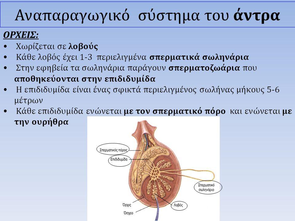 ΟΡΧΕΙΣ: • Χωρίζεται σε λοβούς • Κάθε λοβός έχει 1-3 περιελιγμένα σπερματικά σωληνάρια • Στην εφηβεία τα σωληνάρια παράγουν σπερματοζωάρια που αποθηκεύονται στην επιδιδυμίδα • Η επιδιδυμίδα είναι ένας σφικτά περιελιγμένος σωλήνας μήκους 5-6 μέτρων • Κάθε επιδιδυμίδα ενώνεται με τον σπερματικό πόρο και ενώνεται με την ουρήθρα