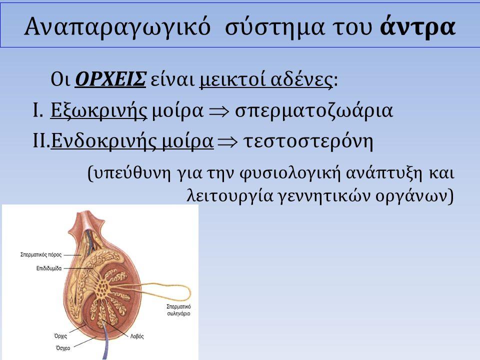 Οι ΟΡΧΕΙΣ είναι μεικτοί αδένες: I.Εξωκρινής μοίρα  σπερματοζωάρια II.Ενδοκρινής μοίρα  τεστοστερόνη (υπεύθυνη για την φυσιολογική ανάπτυξη και λειτουργία γεννητικών οργάνων) Αναπαραγωγικό σύστημα του άντρα