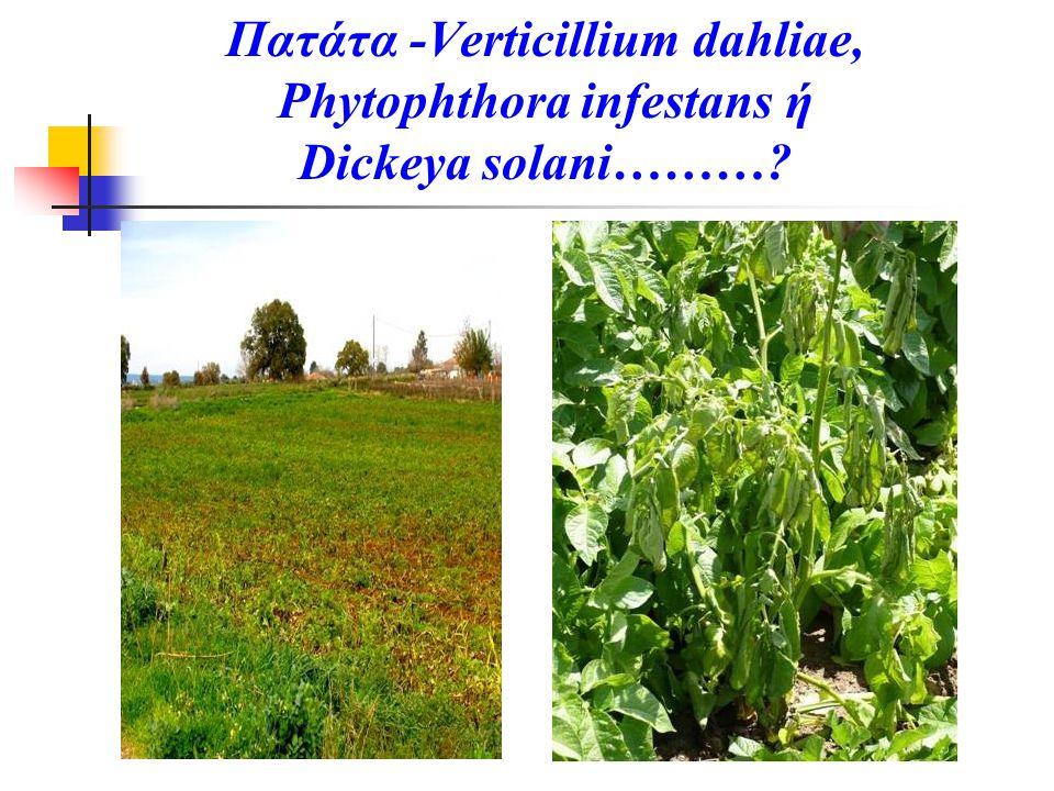 Πατάτα -Verticillium dahliae, Phytophthora infestans ή Dickeya solani………?