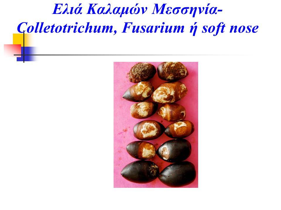 Ελιά Καλαμών Μεσσηνία- Colletotrichum, Fusarium ή soft nose