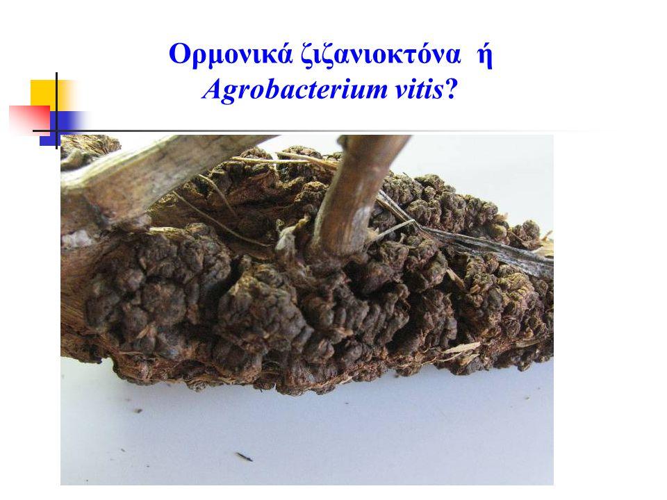 Ορμονικά ζιζανιοκτόνα ή Agrobacterium vitis?