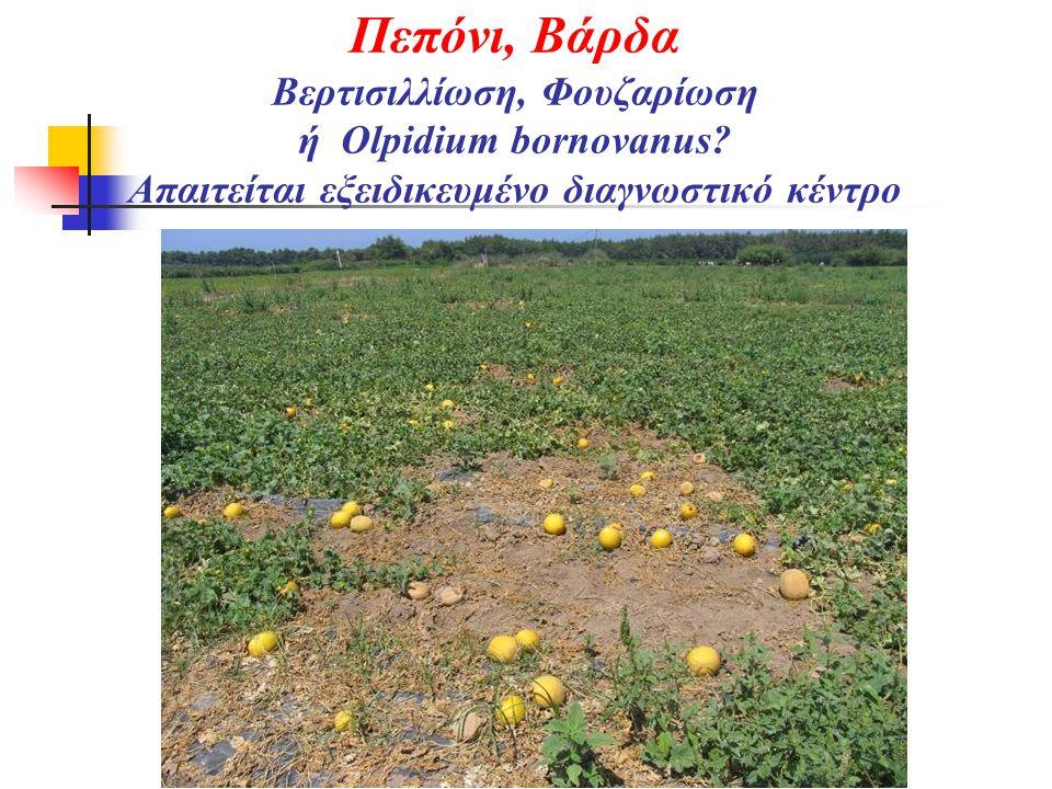 Πεπόνι, Βάρδα Βερτισιλλίωση, Φουζαρίωση ή Olpidium bornovanus? Απαιτείται εξειδικευμένο διαγνωστικό κέντρο