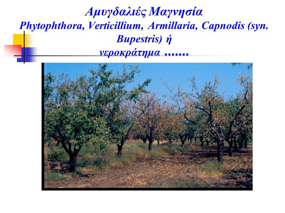 Αμυγδαλιές Μαγνησία Phytophthora, Verticillium, Armillaria, Capnodis (syn. Bupestris) ή νεροκράτημα.......