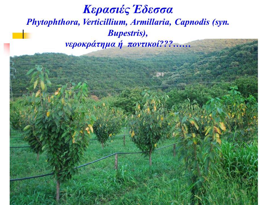 Κερασιές Έδεσσα Phytophthora, Verticillium, Armillaria, Capnodis (syn.