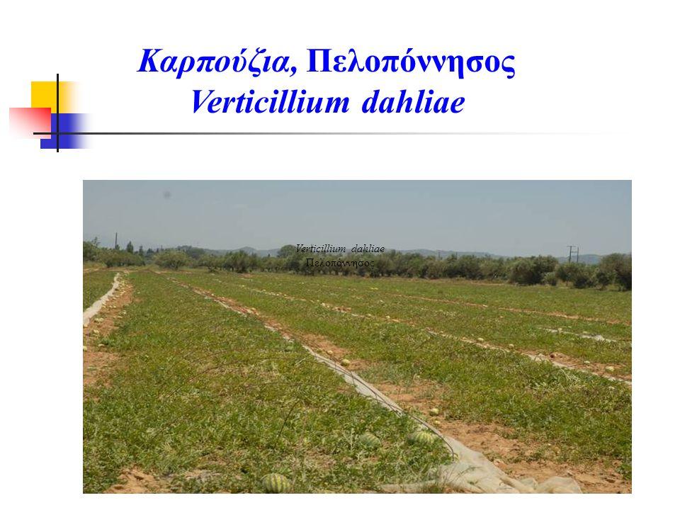 Verticillium dahliae Πελοπόννησος Καρπούζια, Πελοπόννησος Verticillium dahliae