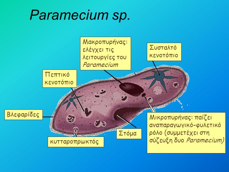 Paramecium sp. Μικροπυρήνας: παίζει αναπαραγωγικό-φυλετικό ρόλο (συμμετέχει στη σύζευξη δυο Paramecium) Στόμα Πεπτικό κενοτόπιο Μακροπυρήνας: ελέγχει