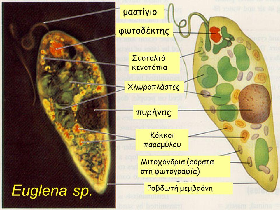 Euglena sp. μαστίγιο φωτοδέκτης Χλωροπλάστες πυρήνας Κόκκοι παραμύλου Μιτοχόνδρια (αόρατα στη φωτογραφία) Ραβδωτή μεμβράνη Συσταλτά κενοτόπια