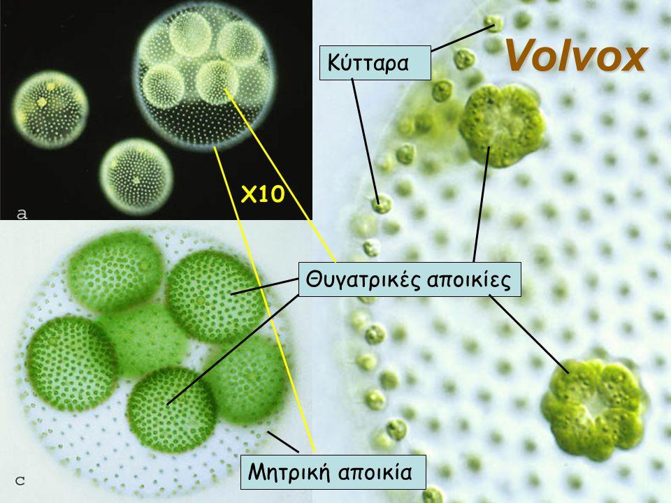 X10 Μητρική αποικία Θυγατρικές αποικίες Κύτταρα Volvox