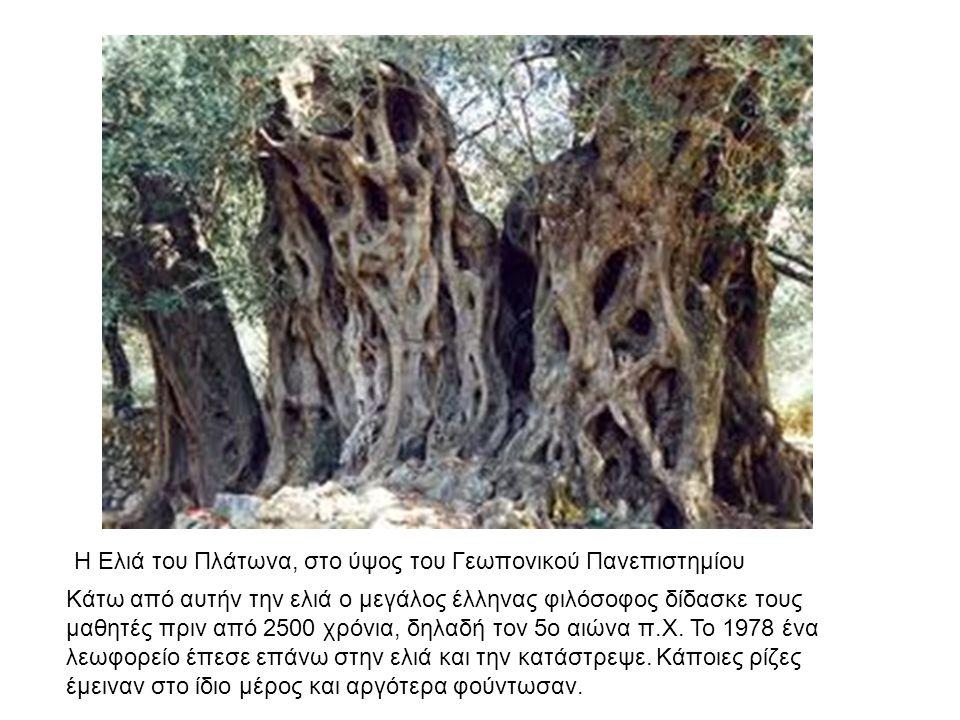 Κάτω από αυτήν την ελιά ο μεγάλος έλληνας φιλόσοφος δίδασκε τους μαθητές πριν από 2500 χρόνια, δηλαδή τον 5ο αιώνα π.Χ. Το 1978 ένα λεωφορείο έπεσε επ