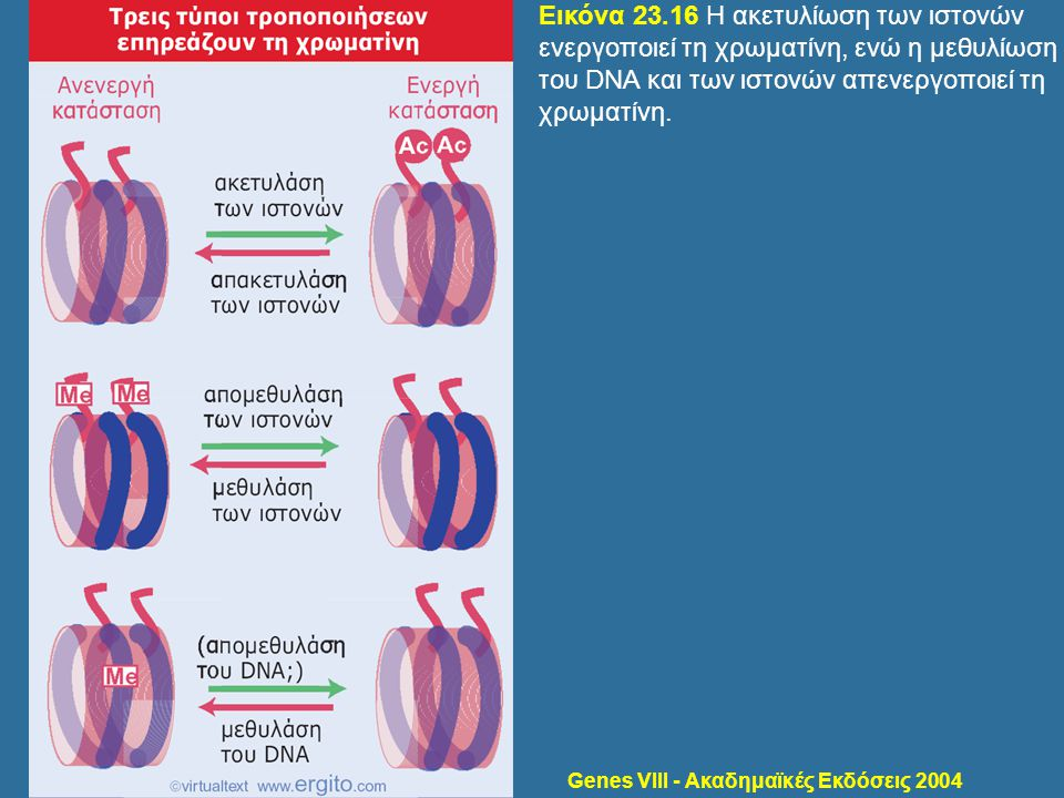 Genes VIII - Ακαδημαϊκές Εκδόσεις 2004 Εικόνα 23.16 Η ακετυλίωση των ιστονών ενεργοποιεί τη χρωματίνη, ενώ η μεθυλίωση του DNA και των ιστονών απενεργ