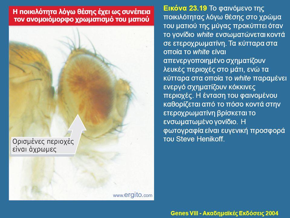 Genes VIII - Ακαδημαϊκές Εκδόσεις 2004 Εικόνα 23.19 Το φαινόμενο της ποικιλότητας λόγω θέσης στο χρώμα του ματιού της μύγας προκύπτει όταν το γονίδιο