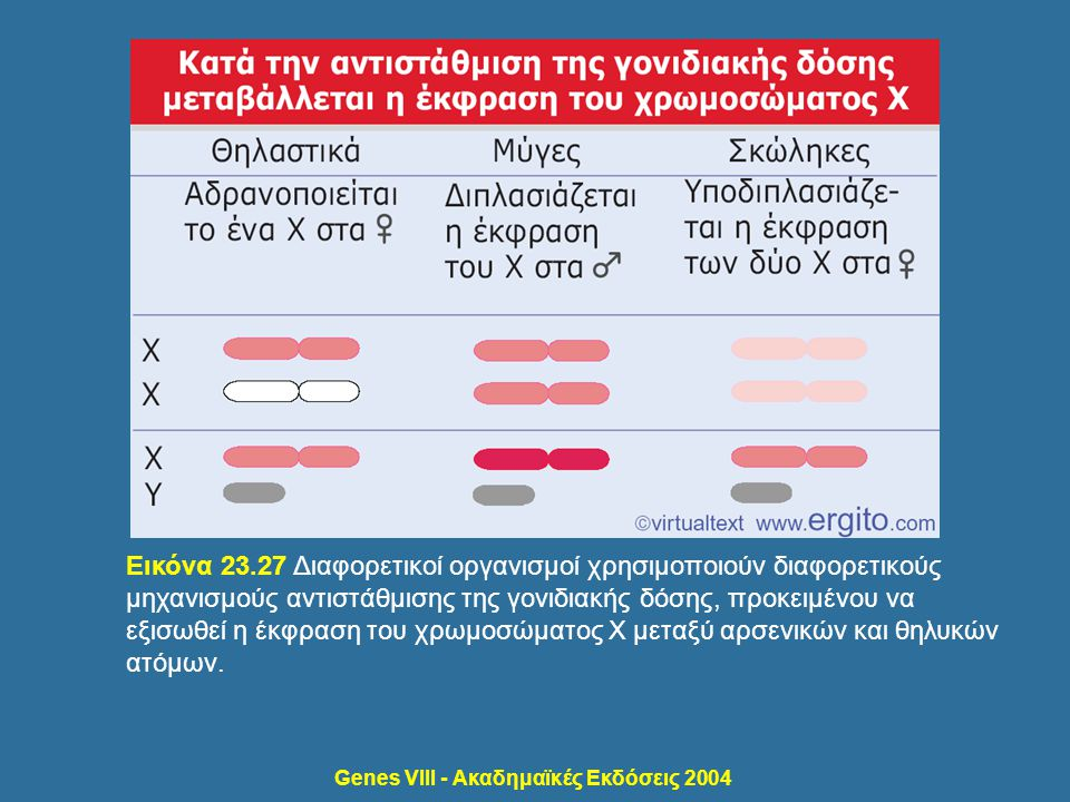 Genes VIII - Ακαδημαϊκές Εκδόσεις 2004 Εικόνα 23.27 Διαφορετικοί οργανισμοί χρησιμοποιούν διαφορετικούς μηχανισμούς αντιστάθμισης της γονιδιακής δόσης