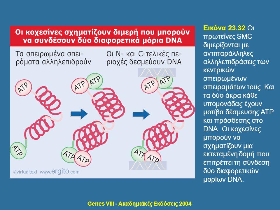 Genes VIII - Ακαδημαϊκές Εκδόσεις 2004 Εικόνα 23.32 Οι πρωτεΐνες SMC διμερίζονται με αντιπαράλληλες αλληλεπιδράσεις των κεντρικών σπειρωμένων σπειραμά