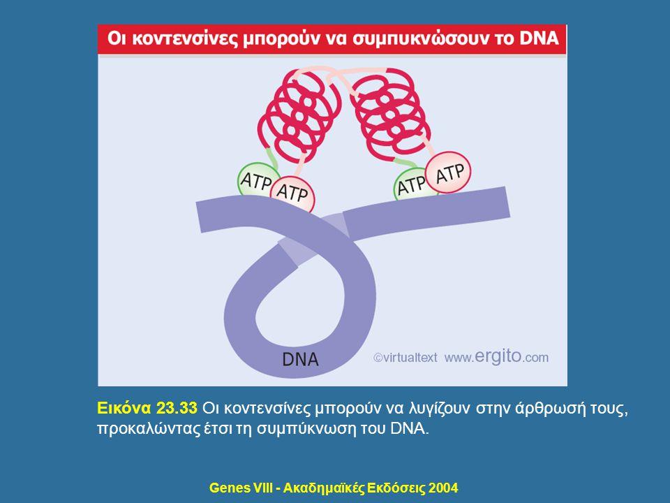 Genes VIII - Ακαδημαϊκές Εκδόσεις 2004 Εικόνα 23.33 Οι κοντενσίνες μπορούν να λυγίζουν στην άρθρωσή τους, προκαλώντας έτσι τη συμπύκνωση του DNA.