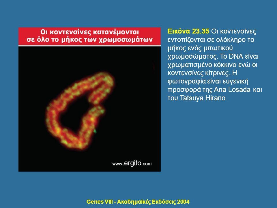 Genes VIII - Ακαδημαϊκές Εκδόσεις 2004 Εικόνα 23.35 Οι κοντενσίνες εντοπίζονται σε ολόκληρο το μήκος ενός μιτωτικού χρωμοσώματος. Το DNA είναι χρωματι