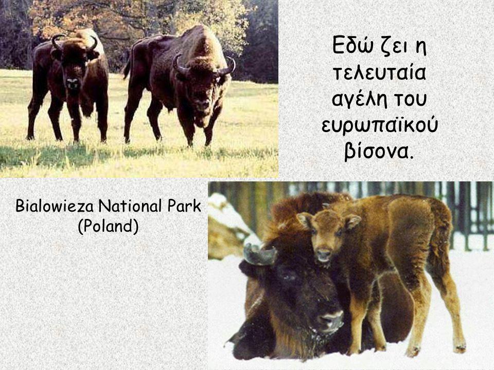 Εδώ ζει η τελευταία αγέλη του ευρωπαϊκού βίσονα. Bialowieza National Park (Poland)