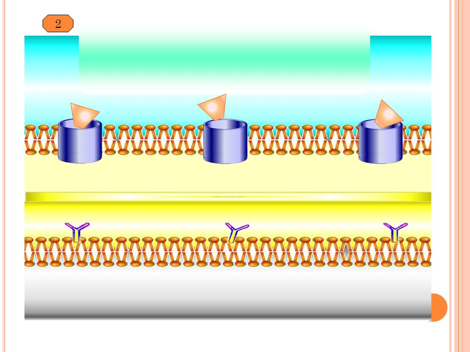 2 Porin Peptidoglycan Periplasmic space PBP B Lactam antibiotic Beta-lactamase production