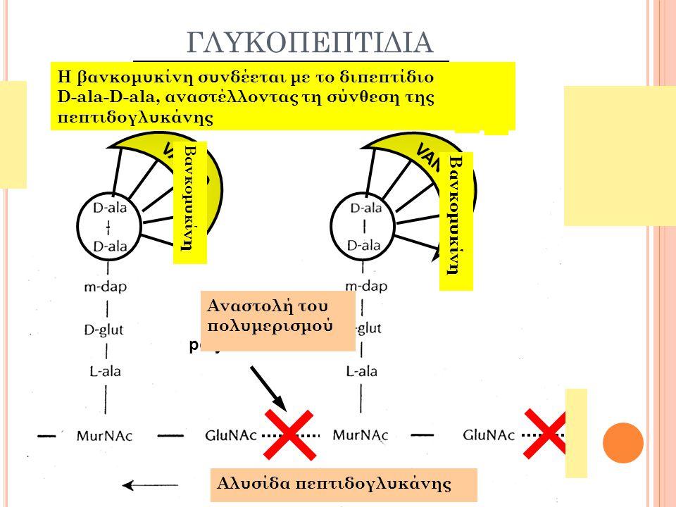 Β -Λ ΑΚΤΑΜΙΚΑ ΑΝΤΙΒΙΟΤΙΚΑ 1. Β Λακταμικά αντιβιοτικά Σύνδεση με πενικιλλινοδεσμευτικές πρωτεϊνες (PBPs) Ωσμωτική αστάθεια κυτταρικής μεμβράνης Λύση κυ
