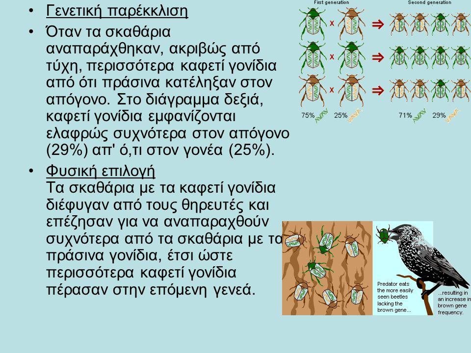 •Γενετική παρέκκλιση •Όταν τα σκαθάρια αναπαράχθηκαν, ακριβώς από τύχη, περισσότερα καφετί γονίδια από ότι πράσινα κατέληξαν στον απόγονο. Στο διάγραμ