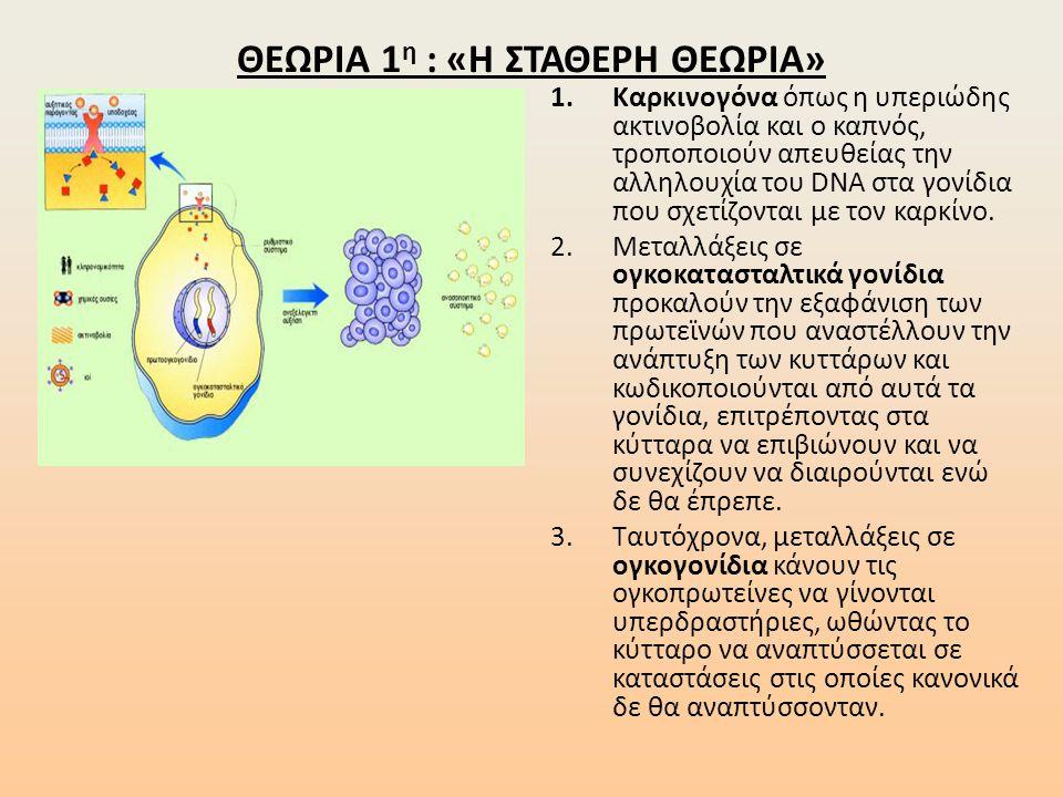 ΘΕΩΡΙΑ 1 η : «Η ΣΤΑΘΕΡΗ ΘΕΩΡΙΑ» 1.Καρκινογόνα όπως η υπεριώδης ακτινοβολία και ο καπνός, τροποποιούν απευθείας την αλληλουχία του DNA στα γονίδια που σχετίζονται με τον καρκίνο.