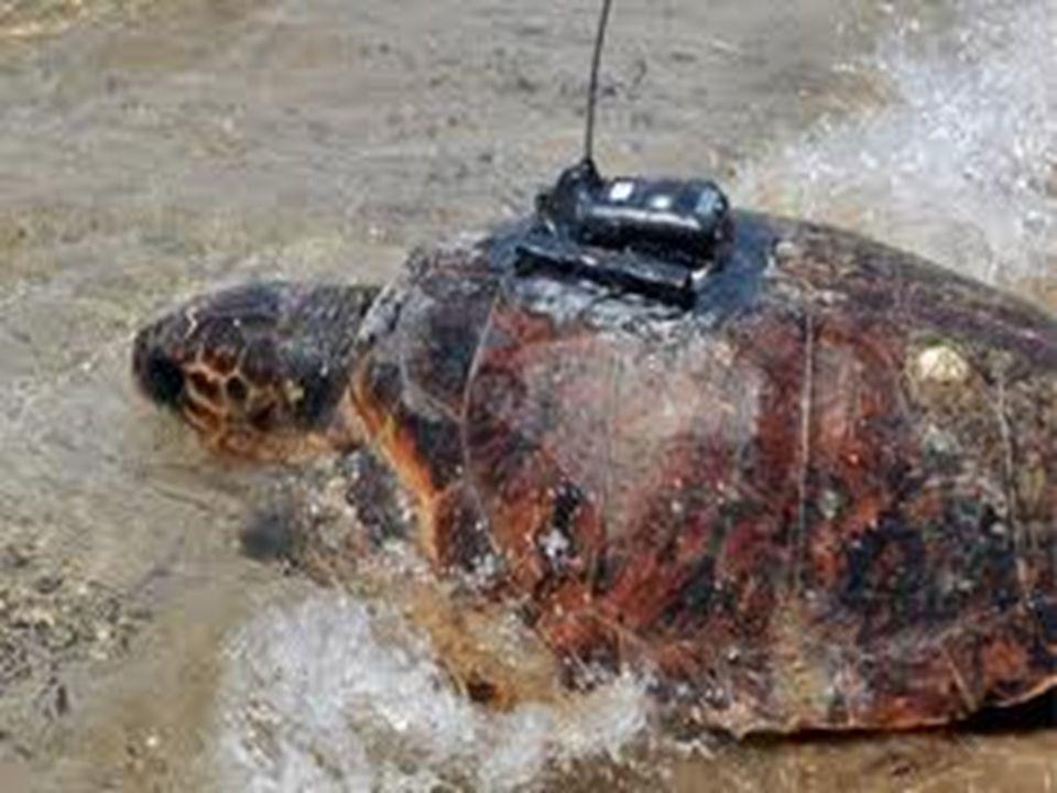 Τα χαρακτηριστικά της Χελώνας Η χελώνα είναι ερπετό. Ανήκει στην αρτίγονη τάξη της πρωτόγονης υφομοταξίας αναψιδωτά. Χαρακτηριστικό τους ο οστέινος θώ
