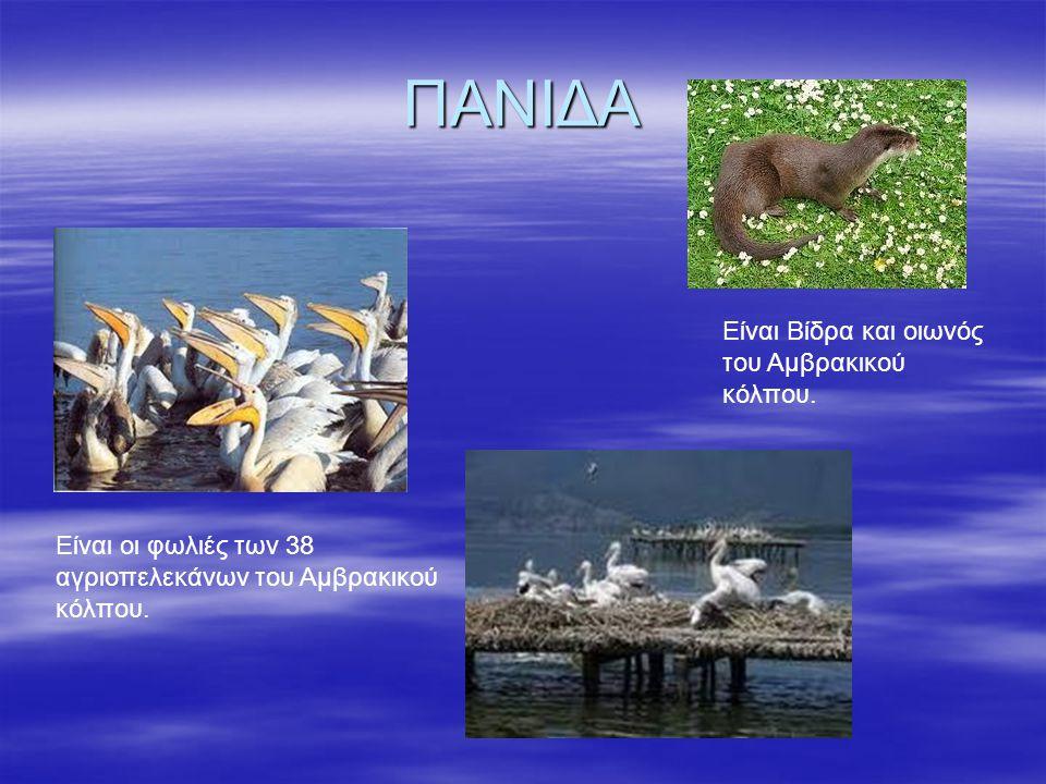 ΠΑΝΙΔΑ Είναι Βίδρα και οιωνός του Αμβρακικού κόλπου. Είναι οι φωλιές των 38 αγριοπελεκάνων του Αμβρακικού κόλπου.