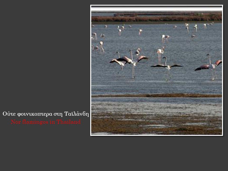 Ούτε φοινικοπτερα στη Ταϊλάνδη Nor flamingos in Thailand