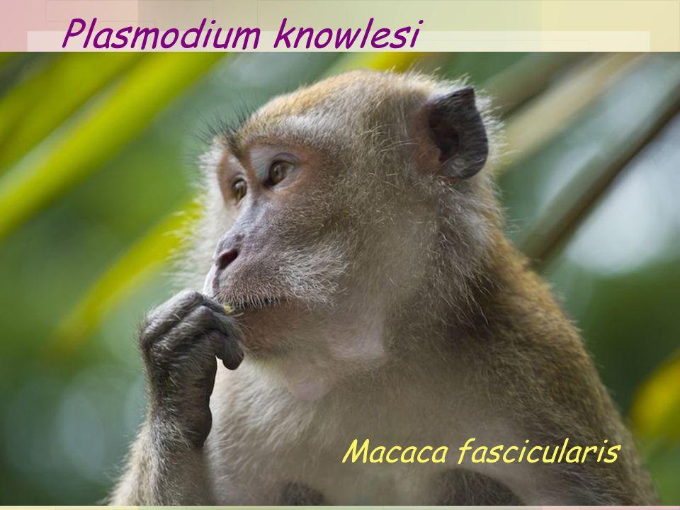11 Plasmodium knowlesi Macaca fascicularis