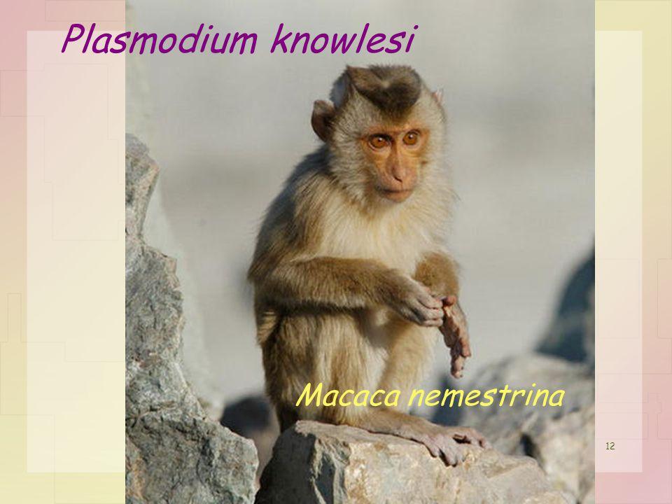 12 Macaca nemestrina Plasmodium knowlesi