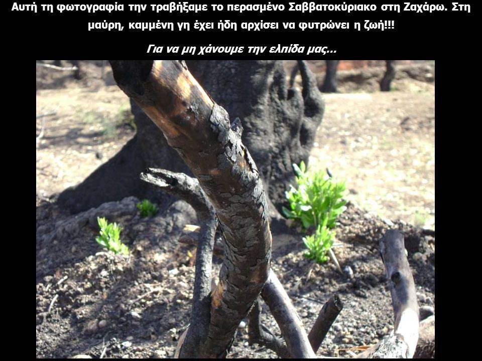 Αυτή τη φωτογραφία την τραβήξαμε το περασμένο Σαββατοκύριακο στη Ζαχάρω. Στη μαύρη, καμμένη γη έχει ήδη αρχίσει να φυτρώνει η ζωή!!! Για να μη χάνουμε
