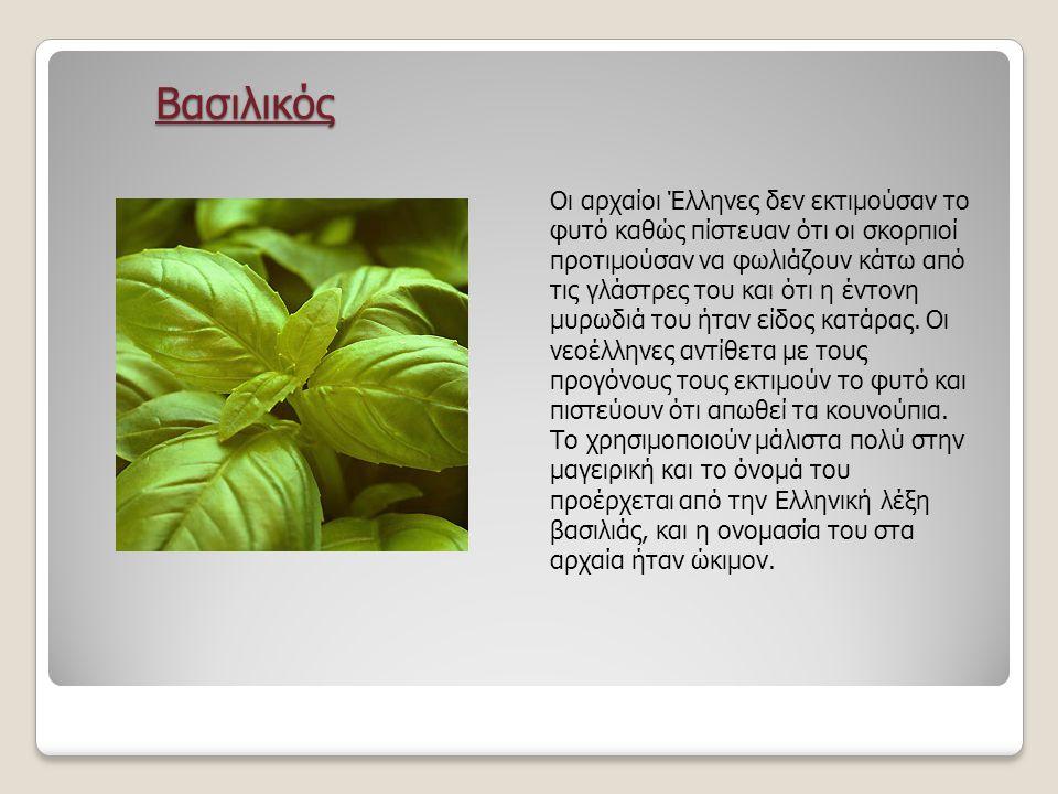Βασιλικός Βασιλικός Οι αρχαίοι Έλληνες δεν εκτιμούσαν το φυτό καθώς πίστευαν ότι οι σκορπιοί προτιμούσαν να φωλιάζουν κάτω από τις γλάστρες του και ότι η έντονη μυρωδιά του ήταν είδος κατάρας.