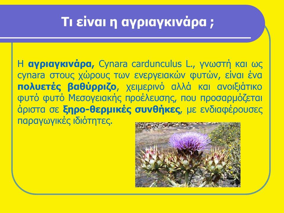 Τι είναι η αγριαγκινάρα ; Η αγριαγκινάρα, Cynara cardunculus L., γνωστή και ως cynara στους χώρους των ενεργειακών φυτών, είναι ένα πολυετές βαθύρριζο