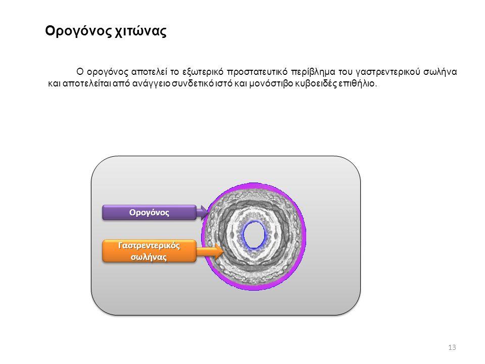 Ορογόνος χιτώνας Ο ορογόνος αποτελεί το εξωτερικό προστατευτικό περίβλημα του γαστρεντερικού σωλήνα και αποτελείται από ανάγγειο συνδετικό ιστό και μο