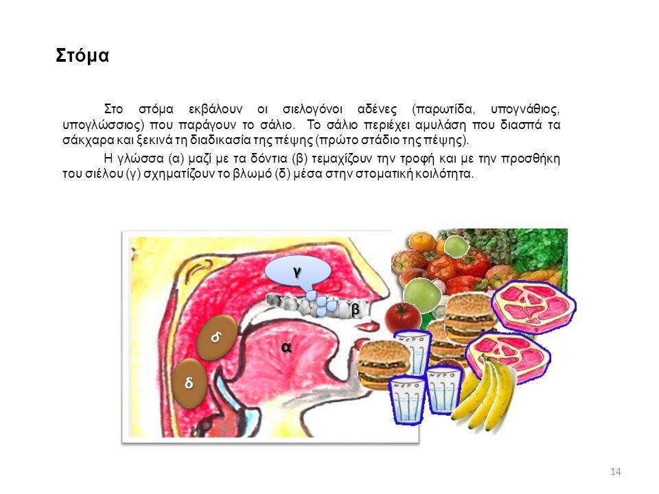 Στόμα Στο στόμα εκβάλουν οι σιελογόνοι αδένες (παρωτίδα, υπογνάθιος, υπογλώσσιος) που παράγουν το σάλιο.