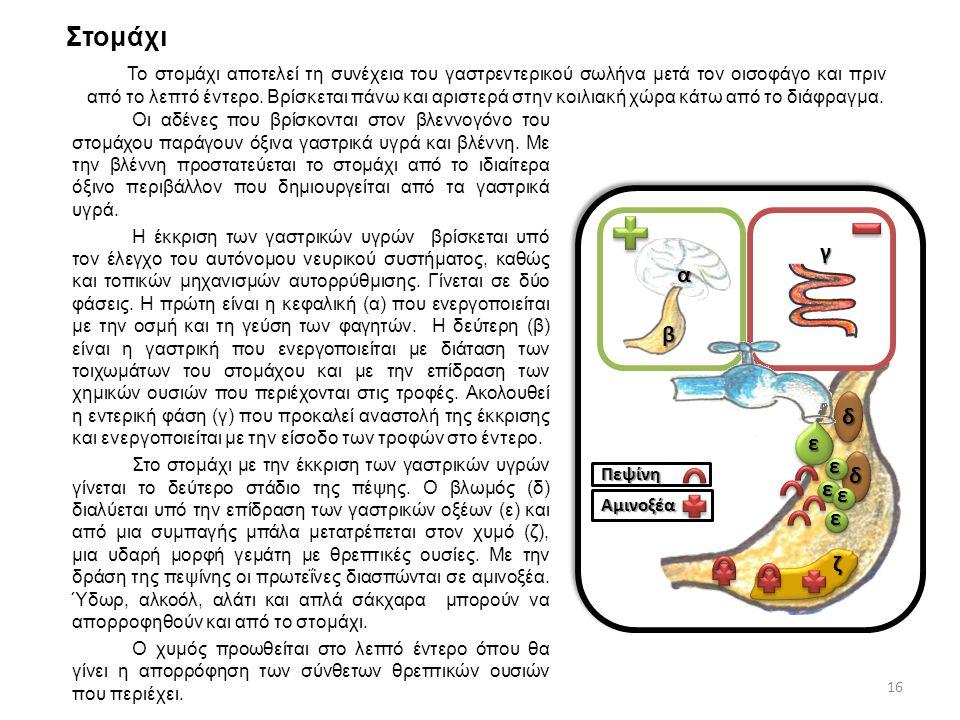 Στομάχι Οι αδένες που βρίσκονται στον βλεννογόνο του στομάχου παράγουν όξινα γαστρικά υγρά και βλέννη. Με την βλέννη προστατεύεται το στομάχι από το ι